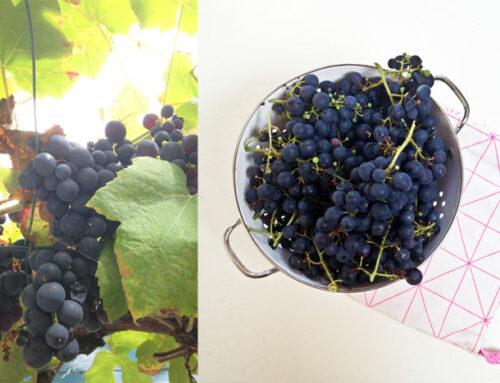 Clafoutis met blauwe druiven